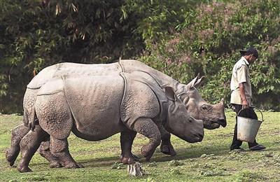 印度犀牛是濒临绝种动物