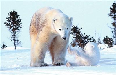 然后可爱熊宝宝的头从雪堆了