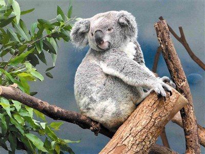 【好事成三】台北市动物园 三只无尾熊 即将当妈妈