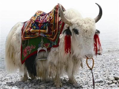 西藏野生动物 复育见成效
