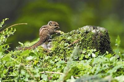 生态显影 活跃於森林的小金瓜 条纹松鼠