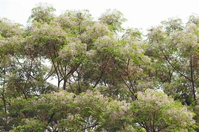 苦楝树因树皮,木材,果实味苦而得名,冬天时节(过年时节)叶凋枝枯