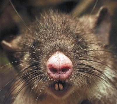 「猪鼻鼠」,长著一个粉红色的猪鼻子,前所未见.图/法新社-印尼图片